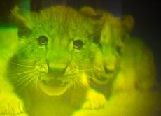 Hologram van Leeuwen