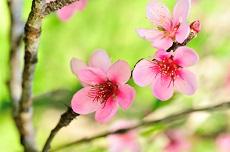 Roze kersenbloesems